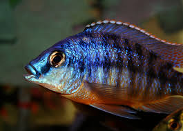 The partial water change for the Right Cichlids African