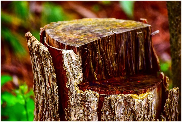 Which is Better? Stump Grinding or Stump Removal