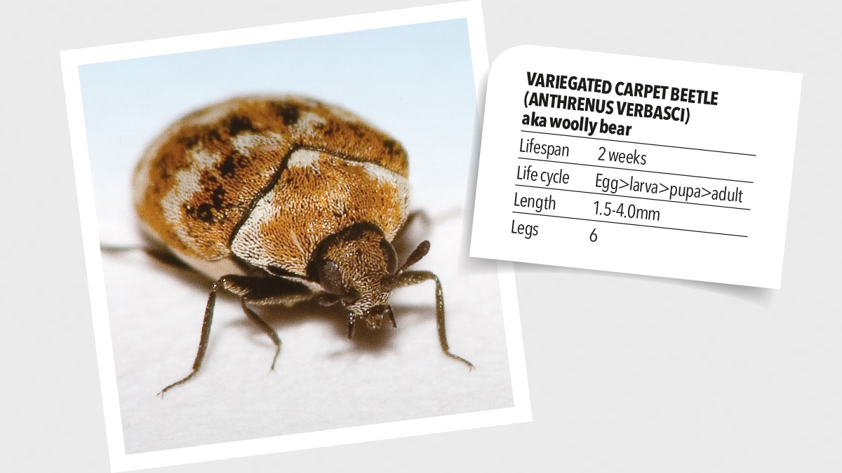 WHERE FROM CARPET BEETLES ORIGINATED?