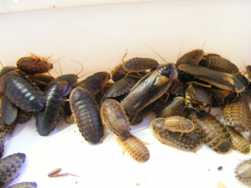 5 Costly Mistakes Dubia Roach Colony to Avoid
