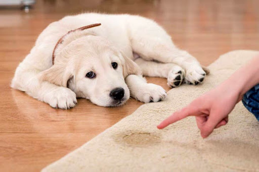 How To Pee And Potty Train Your Puppy At Home